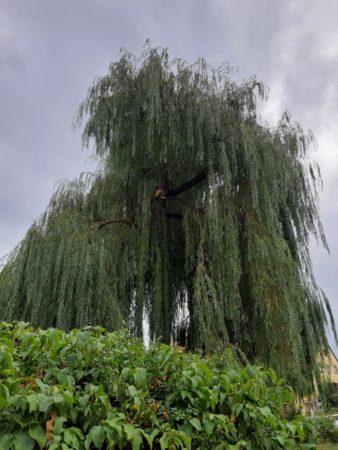 Weide am Dorfplatz bereitet erneut Probleme